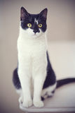 Black-and-white cat. Royalty Free Stock Photography