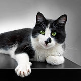 Black and white cat. Black and white domestic cat posing at the studio Royalty Free Stock Photography