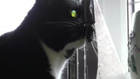 Black and White cat drinking from the faucet. Black and White cat drinking from the dripping faucet