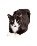 Black and White Cat With Ear Tipped Royalty Free Stock Images