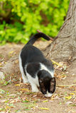 Black and white cat eats from a ground Stock Photos