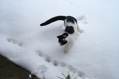 Black and White Cat Encounters Snow Royalty Free Stock Image