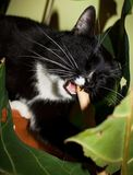 Black and white cat with enjoy is gnawing wooden stick-support f. Or flower. Selective focus on jaw with sharp canines Stock Photo