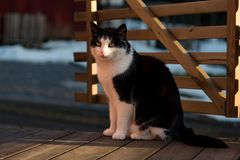 A black and white cat in evening sun. 2019 stock photos