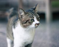 Black and white cat with expression royalty free stock photography