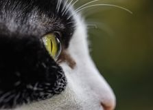 Black and white cat eye closeup royalty free stock image
