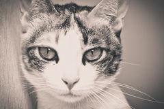 Black and white of cat face Royalty Free Stock Image