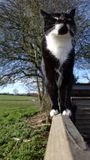 Black and white cat on a fence in countryside. Black and white tuxedo moggy cat walking along a fence and looking up, with trees and fields behind royalty free stock photos