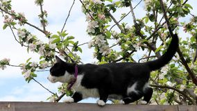 Black and white cat on fence in garden. Black and white cat walking on top of garden fence in front of blooming apple tree against blue skies on sunny day royalty free stock photo