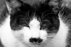 Black and white Cat. With the fierce look royalty free stock images