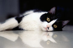 Black and white cat on floor.  Royalty Free Stock Photo