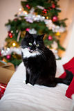 Black and white cat in front of Christmas tree Stock Images