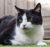 Black and white cat in a garden on a sunny day. This image shows a black and white cat in a garden on a sunny day stock photo
