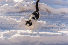 Black and white cat is going through littered with white snow r royalty free stock image