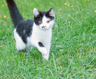 Black and white cat in Stock Images