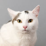 Black and white cat on gray background Stock Images
