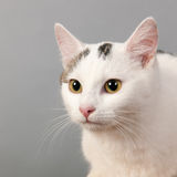 Black and white cat on gray background Royalty Free Stock Photography