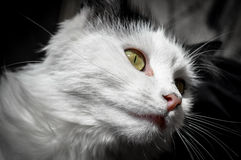 Black and white cat. A great picture of a black and white cat, ideal for backgrounds and postcards...etc Stock Images