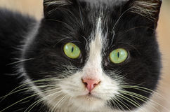 Black and white cat with green eyes in closeup. Closeup of black and white cat with green eyes stock photography