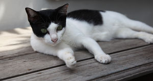 Black and white cat with green eyes Royalty Free Stock Photography