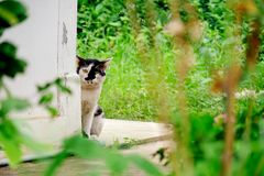 Black and white cat hide and sneak behind the wall corner. The Black and white cat hide and sneak behind the wall corner Stock Photography