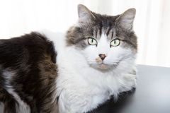Black and white cat at home stock photography