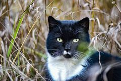 Black-and-white cat hunted in the grass.  stock photo