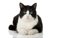 Black and white cat Royalty Free Stock Photos