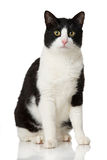 Black and white cat. Isolated on white royalty free stock photography