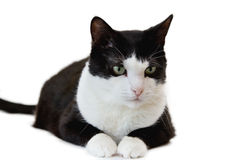 Black and white cat. Isolated on white background stock photography