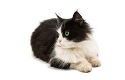 Black & white cat Royalty Free Stock Images