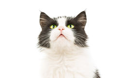 Black & white cat Royalty Free Stock Photography