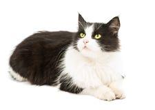 Black & white cat Royalty Free Stock Photo