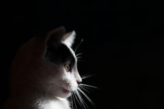 Black and white cat is isolated a black background. Royalty Free Stock Photo