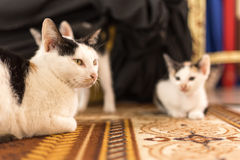Black and white Cat and Kitten. Are sitting on the carpet Stock Photography