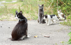 Black-and-white cat and kittens. Black-and-white green-eyed cat on walk with small kittens Royalty Free Stock Photo