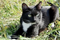 Black and white cat Kuzya royalty free stock photography