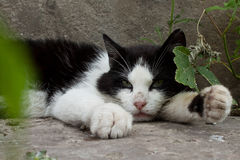 Black and white cat. Lay in ground Stock Image