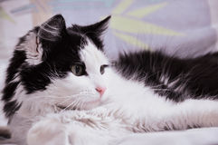 Black and white cat laying on the bed Stock Photos