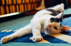 Black and White cat laying on his back on carpet Royalty Free Stock Images