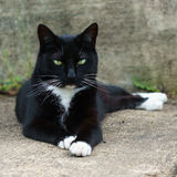 Black and white cat laying on the pavement Royalty Free Stock Images