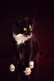 Black-white cat with long whisker. Black and white Norwegian Forest Cat lying on a black background royalty free stock photos