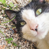 Black and white cat looking at camera. Royalty Free Stock Photos