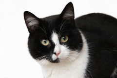 Black and white cat looking at camera Stock Image