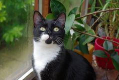Black and White Cat looking for mischief  Royalty Free Stock Photo