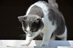 Black and white cat looking out the window down. Cat Royalty Free Stock Images