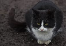 Black and white cat, looking at you Royalty Free Stock Images