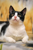 Black and white cat lying Royalty Free Stock Image