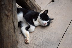 Black and white cat lying on the floor blindfolded on a wooden floor.. Stock Photo