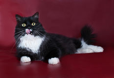 Black and white cat lying and licked on burgundy Royalty Free Stock Photos
